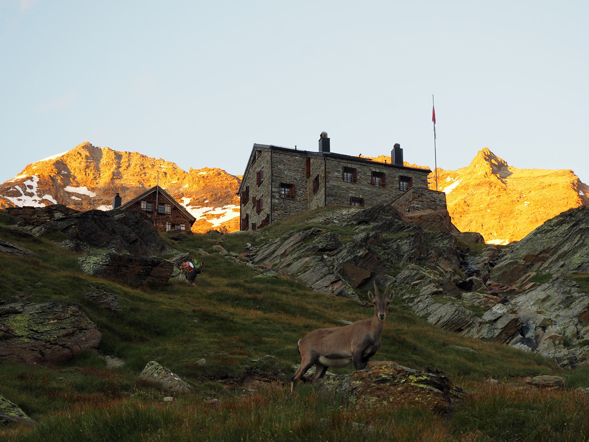 Weissmieshütte - Gämsen