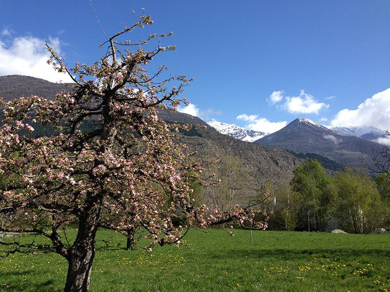 Vinschgau Apfelblüte