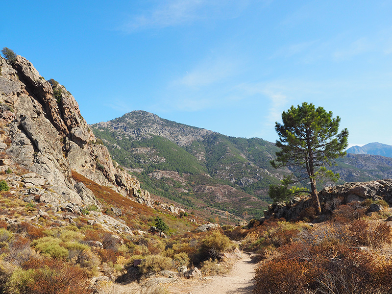 Wandern auf dem GR20 auf Korsika - von Calanzana zum Refuge d'Ortu di u Piobbu, Kühe