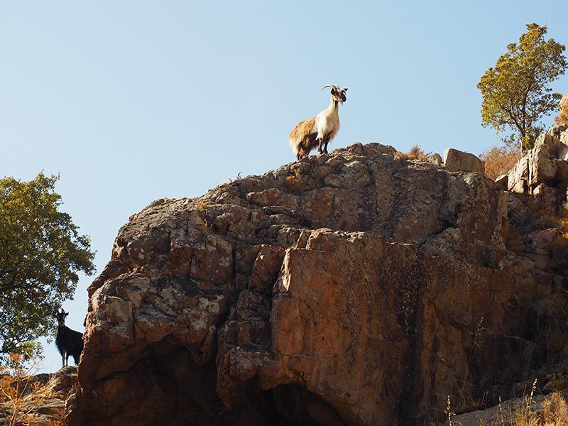 Wandern auf dem GR20 auf Korsika - von Calanzana zum Refuge d'Ortu di u Piobbu, Mufflons