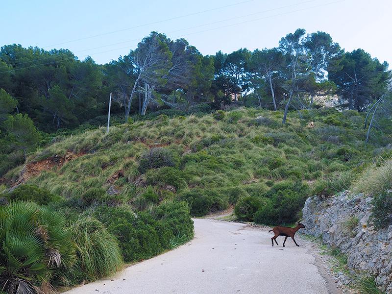 Mallorca - Straße zur Ermita de la Victoria, Bergziege
