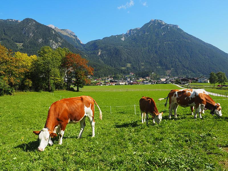 Achensee - Maurach, Kühe