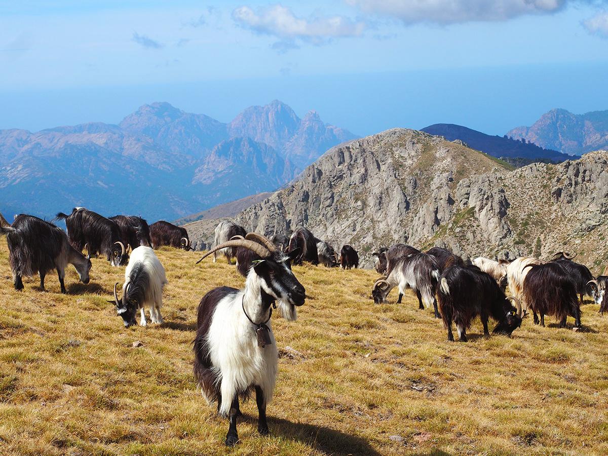 Wandern auf dem GR20 auf Korsika - Bergziegen