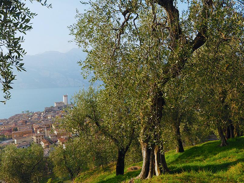 Gardasee - Malcesine, Olivenplantagen