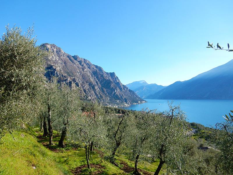 Gardsee - Limone sul Garda, Olivenbäume