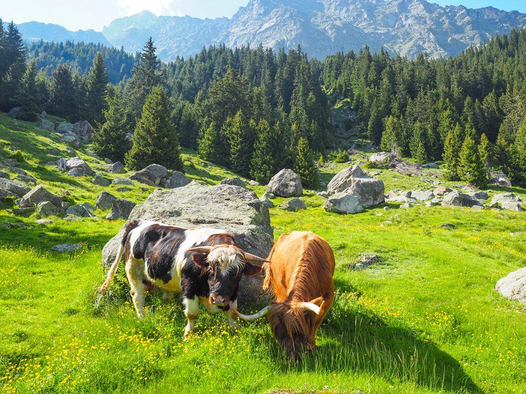 Meraner Höhenweg - Wandern zwischen Hochmuth und Giggelberg, Goidner Alm Kühe