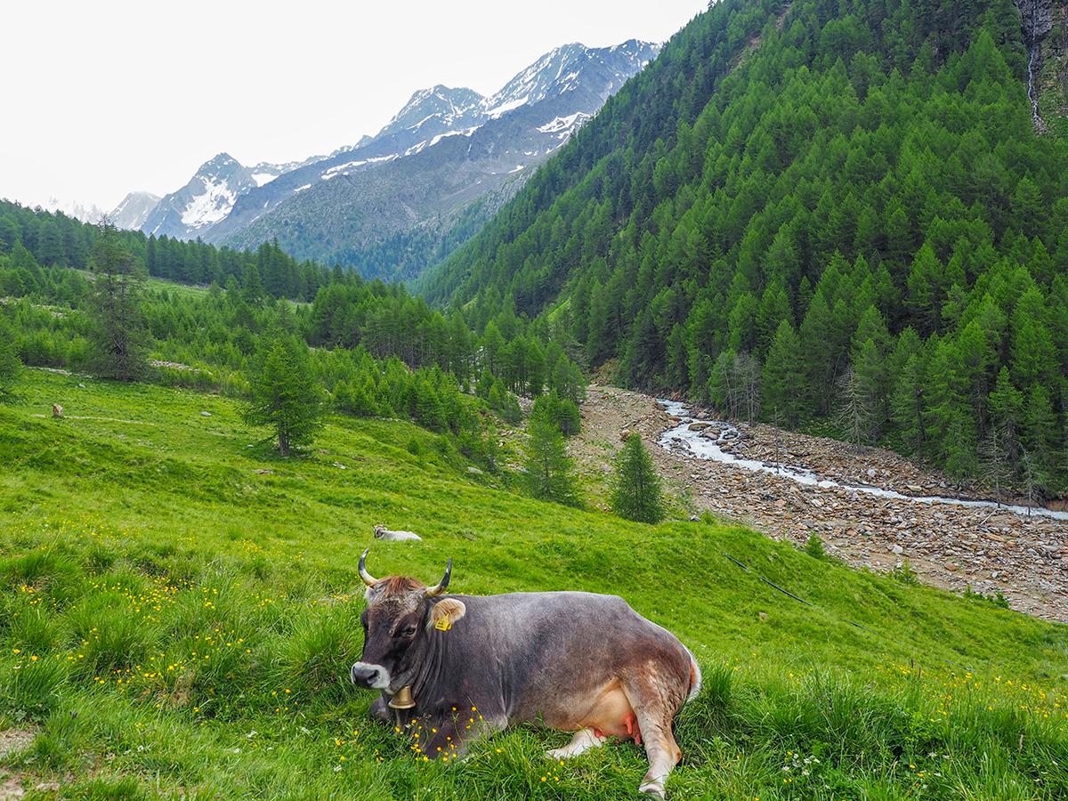 Meraner Höhenweg Wandern - Pfossental, Kuh