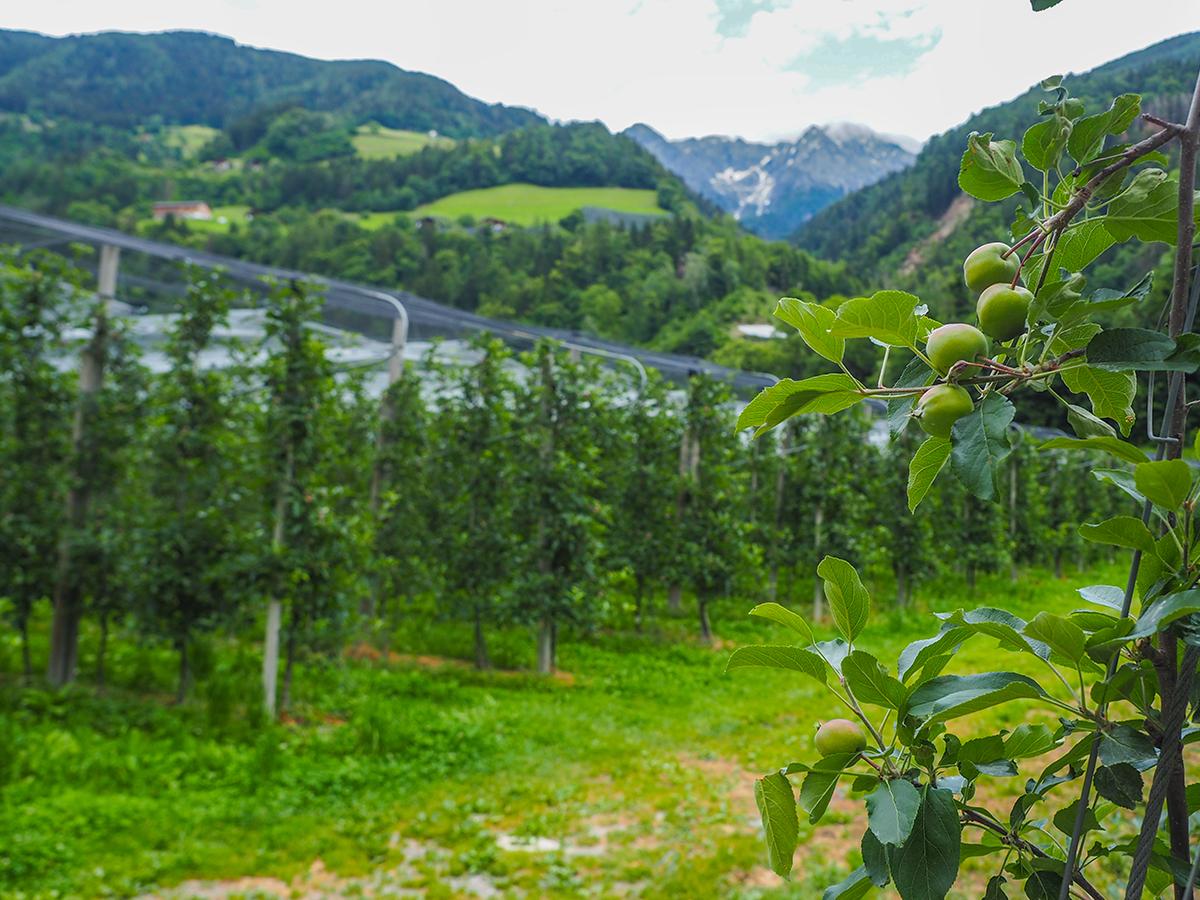 Passeiertal Radweg Saltaus - Meran, Apfelplantage