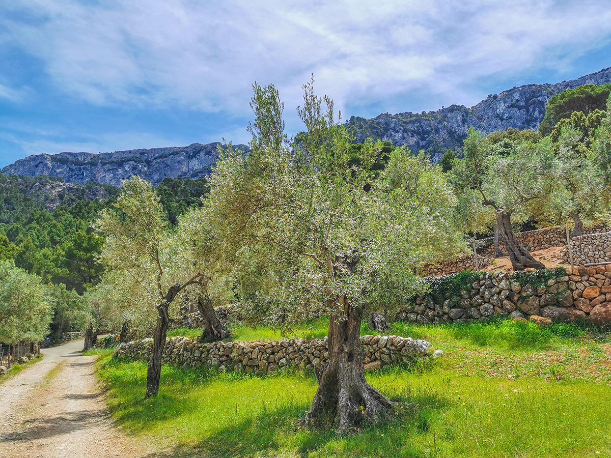 Mallorca Radreise - Nordküste Olivenhain