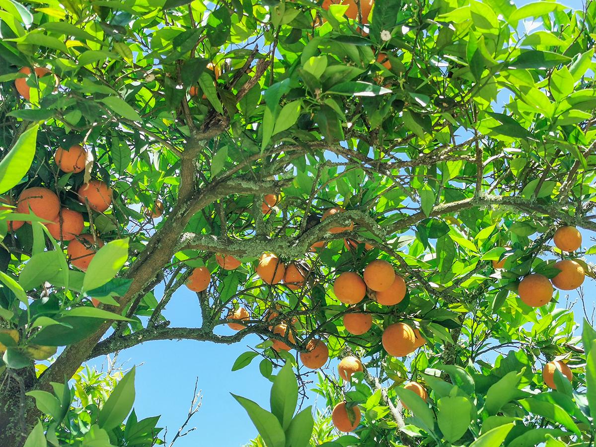 Mallorca Radreise - Manacor, Orangenbaum