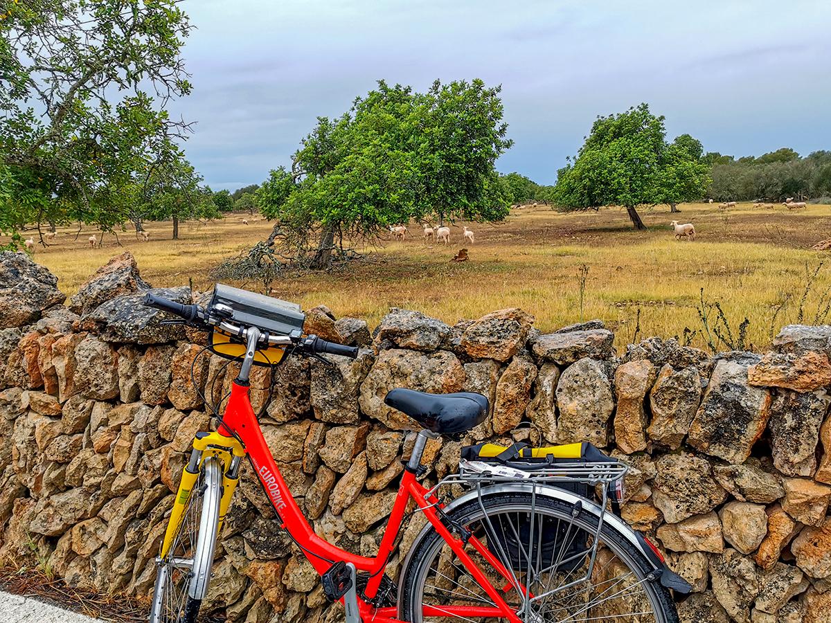 Mallorca Radreise - Erste Etappe, Schafe