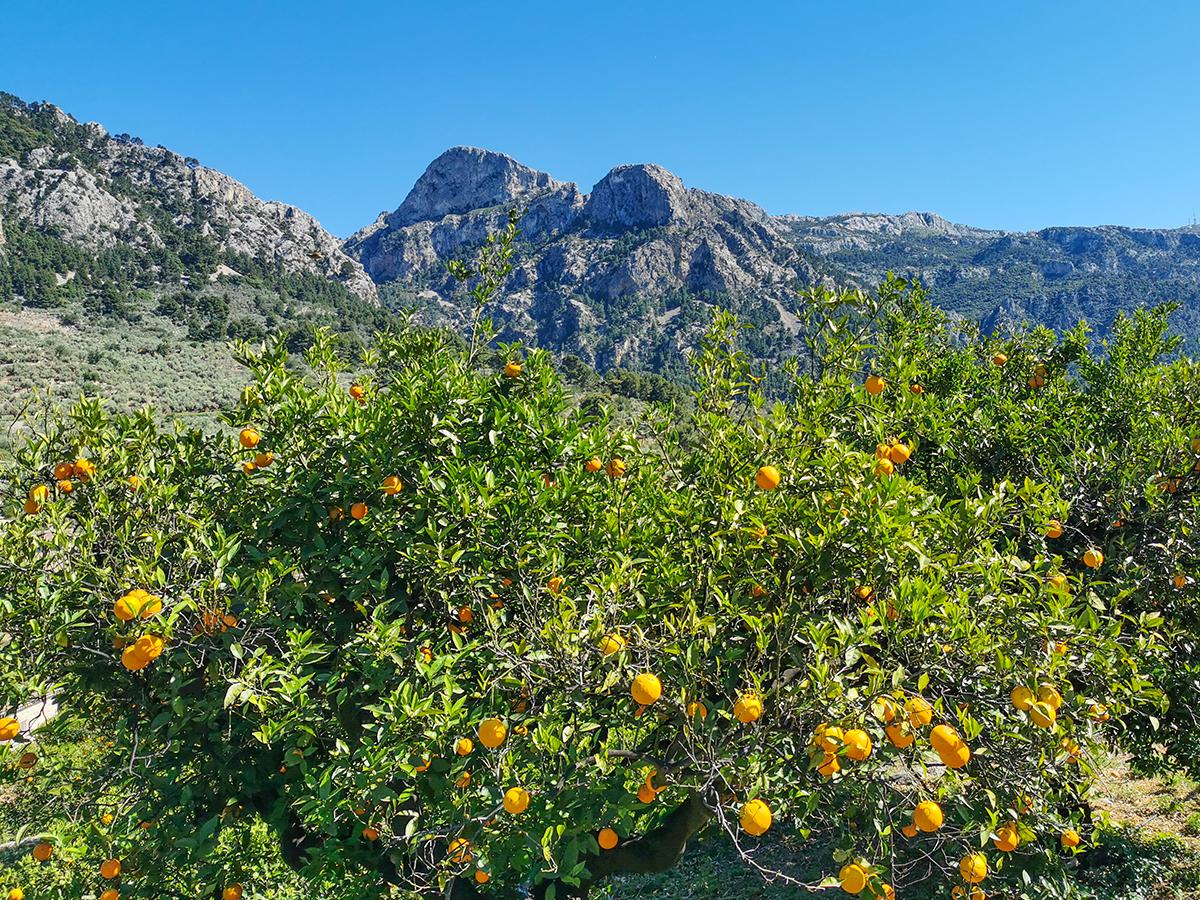 Mallorca Radreise - Fornalutx, Orangenbaum