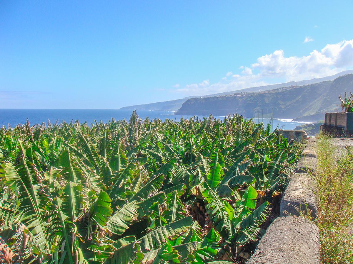 Teneriffa-WanTeneriffa - Wanderung Playa de Bollullo, Bananenplantagederung-Playa-de-Bollullo-Bananenplantage
