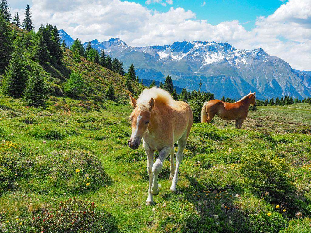 Wandern Reschensee - Plamort Hochebene, Pferde